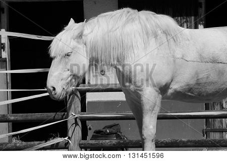 A WHITE HORSE IN THE EQUESTRIAN CLUB OF THE TOUQUET