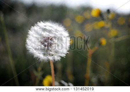 Closeup of a Dandelion flower, Zaragoza Province, Aragon, Spain.