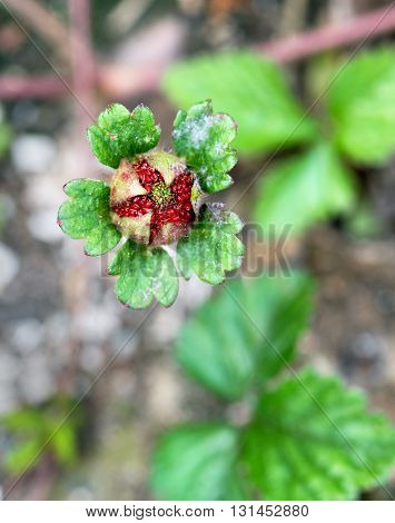 Wild Strawberry Ripening