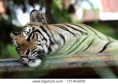 Portrait of a tiger in the midday heat