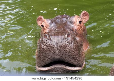 Hippo on safari opened its mouth and hungry
