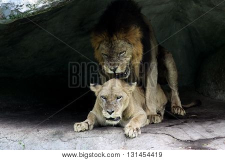 Lion and lioness. In the shadow of the cave