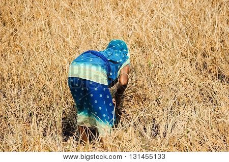 Back view of a woman harvesting rice Orissa India