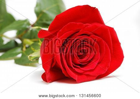 Single red rose isolated on white background. Selective focus.