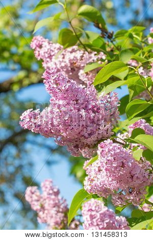 Branch of lilac with green leaves in summer day