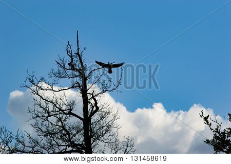 Silhouette of a large bird landing on a tree with spread wings and evening blue sky with some clouds