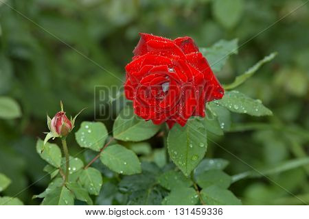 Red rose and rose bud with raindrops