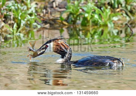 Great crested grebe (Podiceps cristatus) in water with a fish in its beak