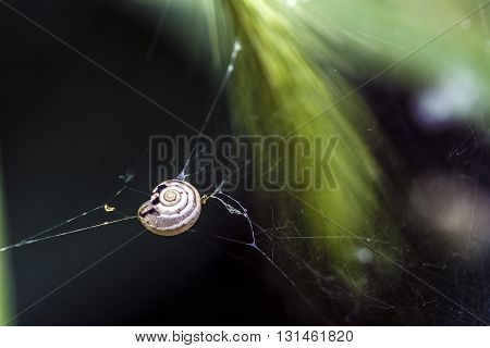 Small snail trapped in the cobweb  macro