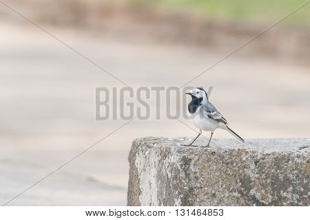 Wagtail Sitting On A Concrete Curb In The City.