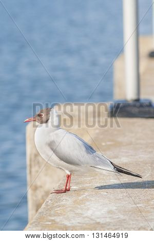 Seagull Sitting On The Concrete Fence And Looking Right, The Promenade Of The Gulf In The City Of Ch