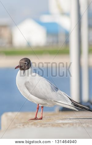 Seagull Sitting On A Concrete Fence. In The Background Of The Church Building, The Water Area Of The