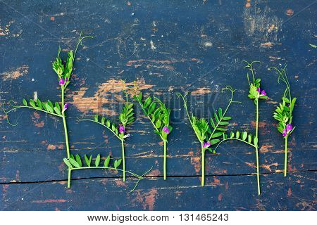 green flowering sprigs of wild peas with small purple flowers on an old black wooden board with crack. Flat lay top view