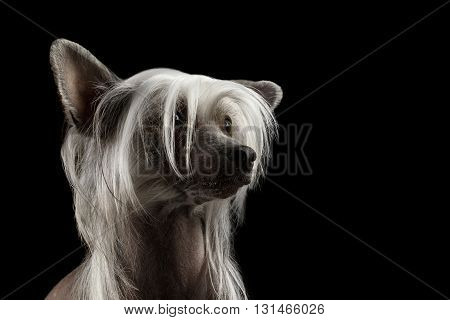 Closeup Portrait of Chinese Crested dog Looking up in front of Isolated Black background
