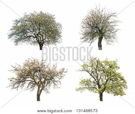 flowering trees isolated on white background. Close up