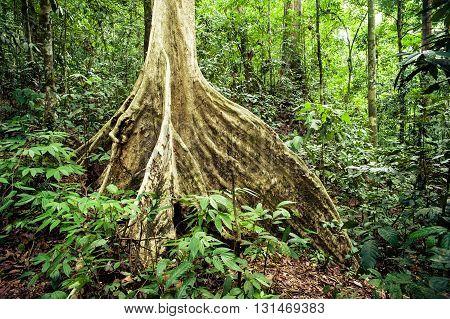 Big tree roots in the jungle, Ketambe, Sumatra, Indonesia