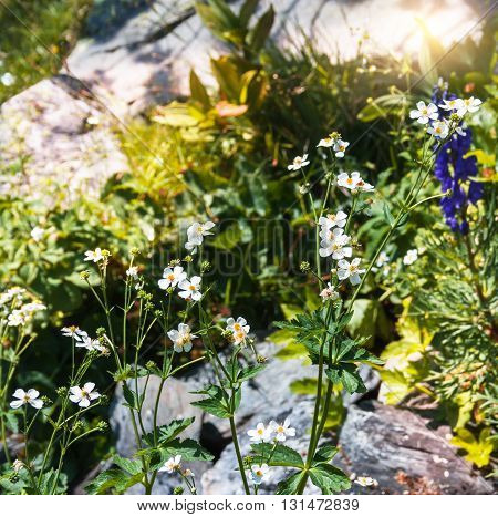 Alpine meadow with white flowers and green grass .