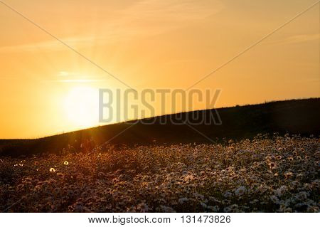 The sun is setting over a white daisies meadow. May landscape. Masuria Poland.