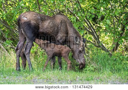Newborn twin moose calves feeding on mom