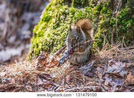 Endearing, springtime Red squirrel, close up,  Sitting up at the base of a Northern Ontario pine tree and eating the seeds from a pine cone.