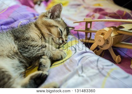 Little pretty kitten British golden chinchilla ticked tired of playing the and fell asleep beside his toy