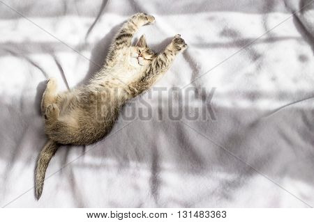 lovely fluffy kitten British golden chinchilla ticked luxuriates in the rays of the evening sun