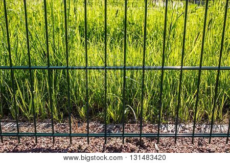 Grass green Sweda illuminated sun rays is behind metal fence the warm spring day