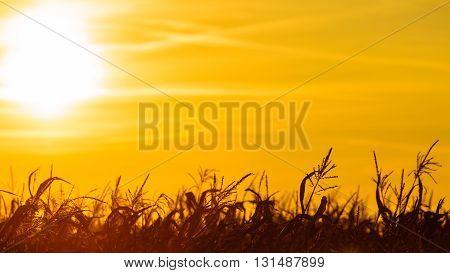 Dry corn field at the beautiful yellow sunset. Autumnal landscape.