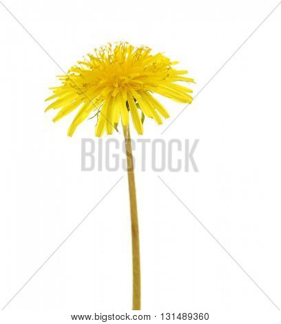 Yellow dandelion on white background