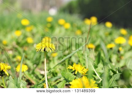 Yellow dandelions on the green field
