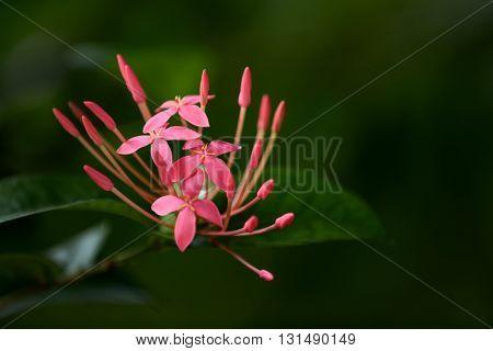 Pink tropical flower ixora.