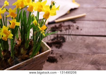Beautiful narcissus in pot on wooden background