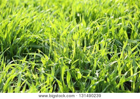 Young green grass field.