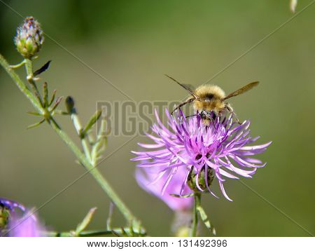 Bumble bee collecting pollen nectar from blossom