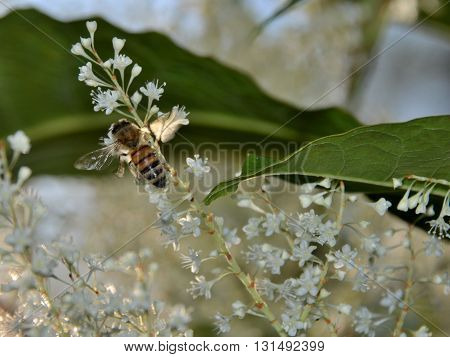 Honey bee gathering nectar from a wild flower