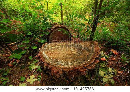 a picture of an exterior Pacific Northwest cut Douglas fir tree  trunk stump in forest