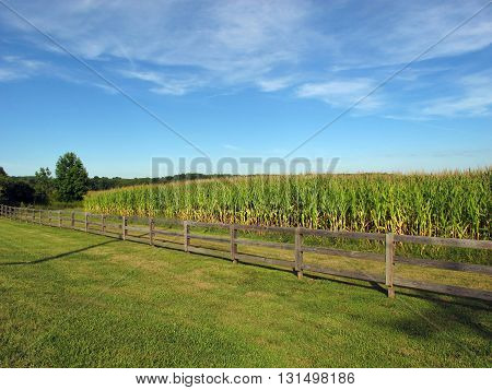 Cornfield beyond a fence, on a nice day