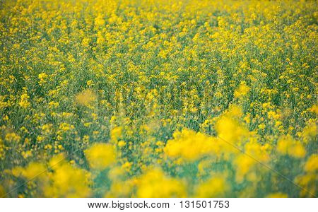 Yellow field rapeseed in bloom in Germany