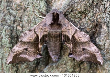 Eyed hawk-moth (Smerinthus ocellata) with hindwings hidden. Hawk moth in the family Sphingidae camouflaged against bark when bright hindwings are covered