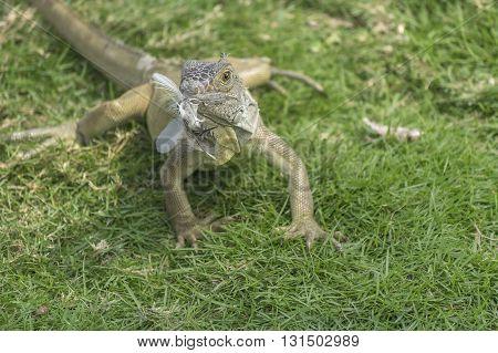 Iguana Park Guayaquil Ecuador