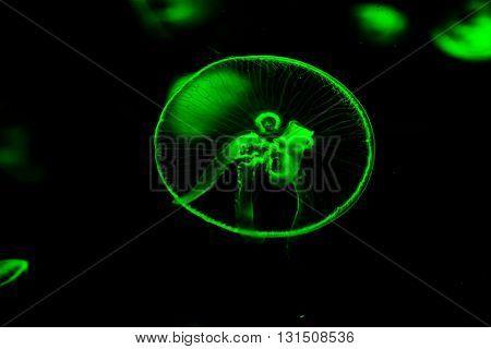 Jellyfish Dangerous Poisonous Medusa