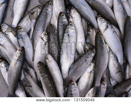 Fresh sea grey mullet fishs in the market Thailand.