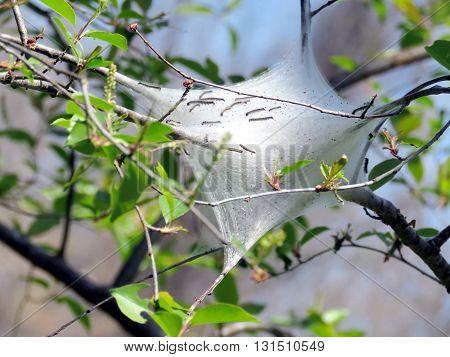 Eastern Tent Caterpillars (Malacosoma americanum) in forest of Mclean near Washington DC