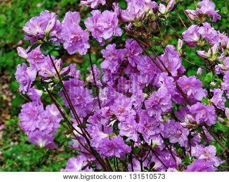 Purple Azalea flowers in Mclean near Washington DC 27 April 2016 USA