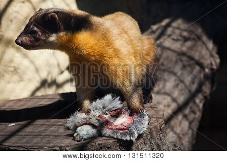 Yellow-throated marten (Martes flavigula). Wild life animal.