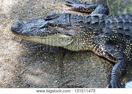 photo of one aggressive Crocodile wild animal