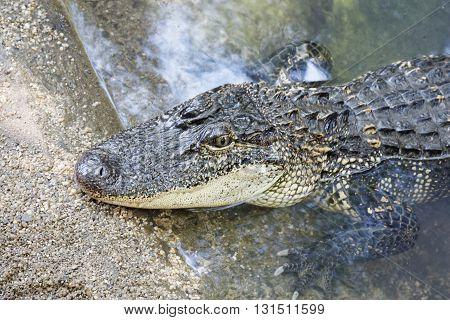 one wild Australian Crocodile in the water