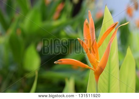 Yellow bird of paradise blooming in the garden