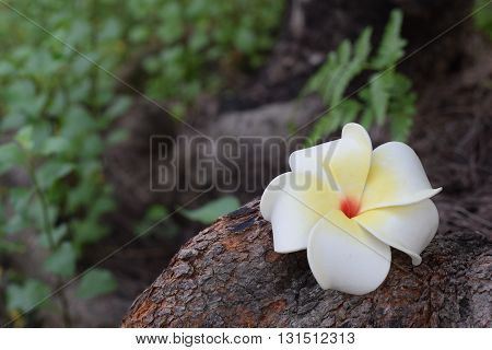 White Frangipani fallen onto the bark of a tree