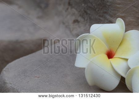 White frangipani fallen onto a grey rock